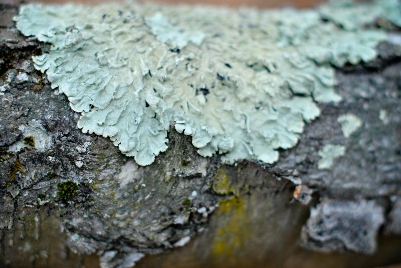 12 lichens